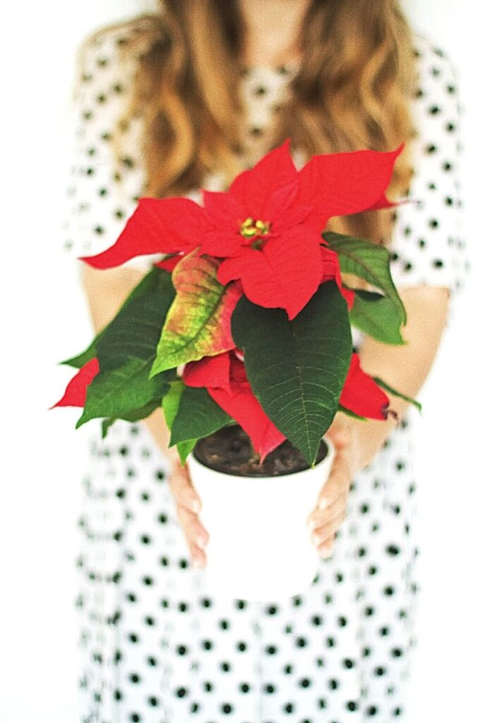 Lady in white dress with black dots - holding a red poinsettia