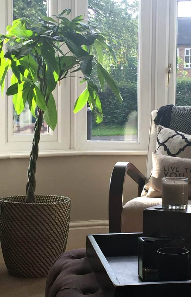 Money tree in a living room bay window